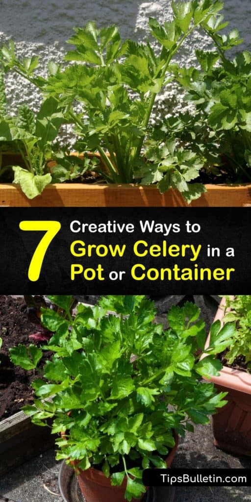 Learn how to grow celery in a pot, from sowing seeds and transplanting celery seedlings to munching on a celery stalk. The biennial Apium graveolens requires cool weather, mulch, plenty of fertilizer, and consistent watering throughout the growing season. #celery #grow #container #pots