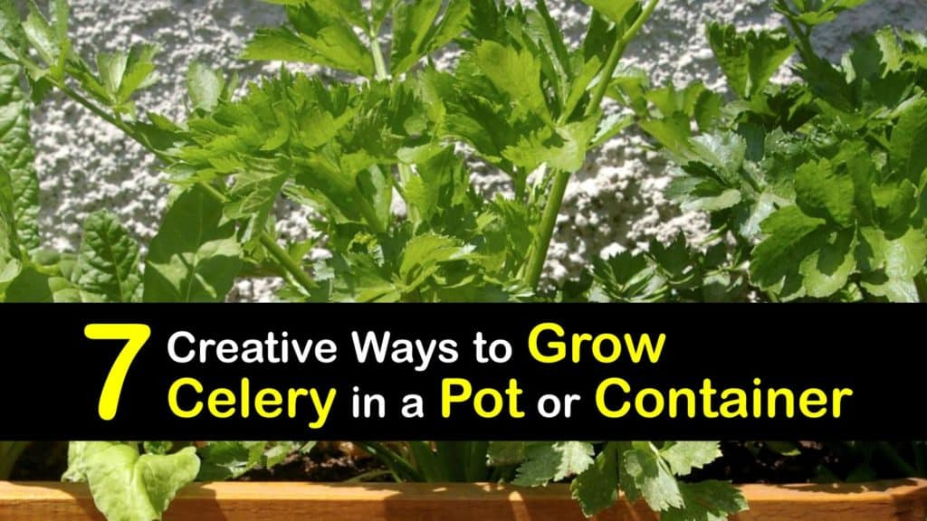 How to Grow Celery in a Pot or Container titleimg1