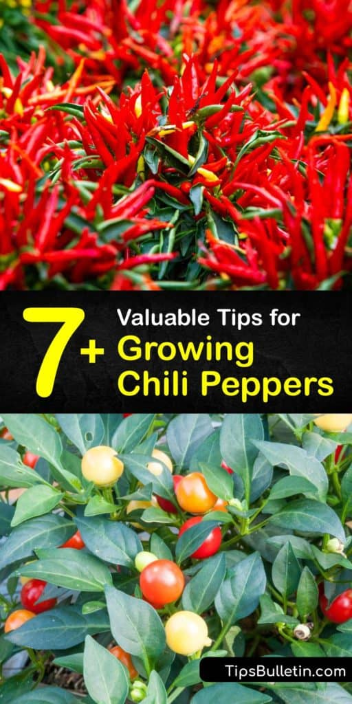 Discover the best tips and tricks for growing chili peppers like habanero or jalapeno. From the germination of pepper seeds and transplanting your homegrown hot peppers to how to get rid of aphids and what kind of mulch to use, we've got you covered. #grow #chili #peppers
