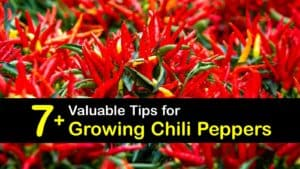 How to Grow Chili Peppers titleimg1