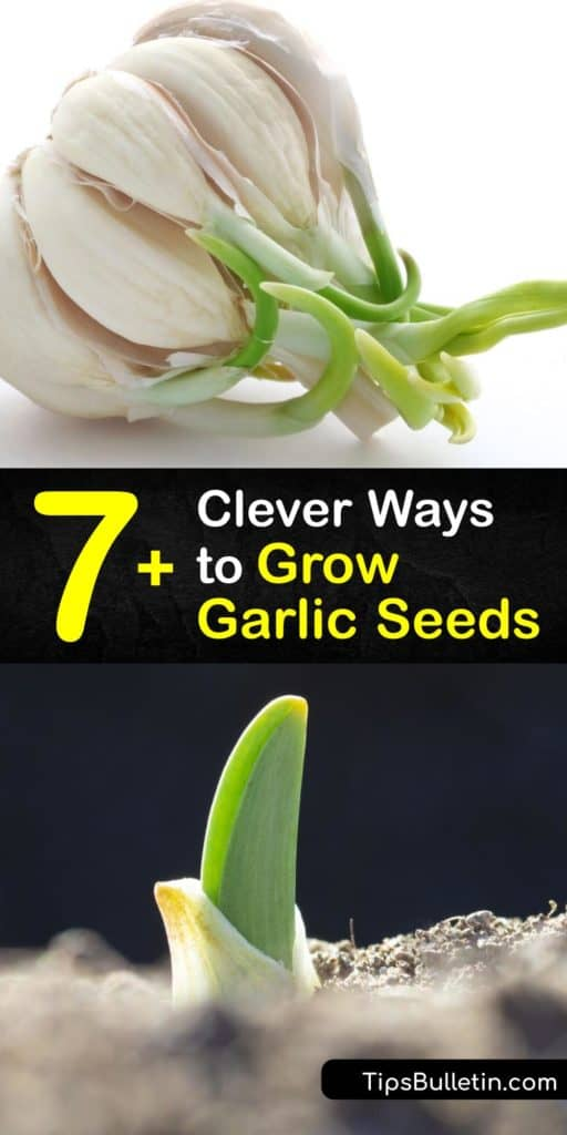 Find out why growers plant garlic in the garden to utilize its benefits for companion planting. Plant hardneck garlic varieties in the fall, and softneck garlic in early spring. Learn how to grow garlic seed and bulbils, and how to store garlic bulbs after harvesting. #howto #grow #garlic #seeds