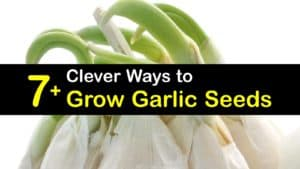 How to Grow Garlic from Seed titleimg1