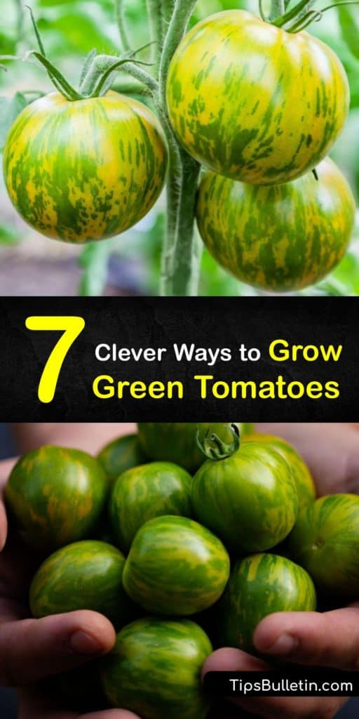 Discover how to grow green tomatoes at home in a few simple steps and enjoy delicious fruits at the end of the growing season. Aunt Ruby's German Green, an heirloom beefsteak, produces green ripe tomatoes instead of red tomatoes, and is easy to grow. #howto #grow #green #tomatoes