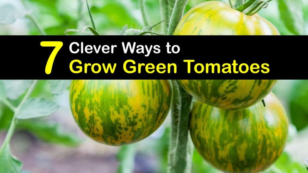 How to Grow Green Tomatoes titleimg1