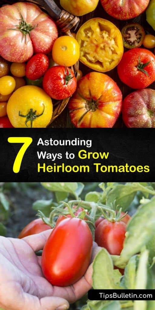 Learn how to use mulch, prune, and plant heirloom tomato seeds that have disease resistance qualities. Heirloom varieties like Brandywine, Black Krim, and Amish tomatoes demand more attention than cherry tomatoes. #howto #grow #heirloom #tomatoes