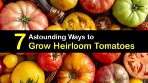 How to Grow Heirloom Tomatoes titleimg1