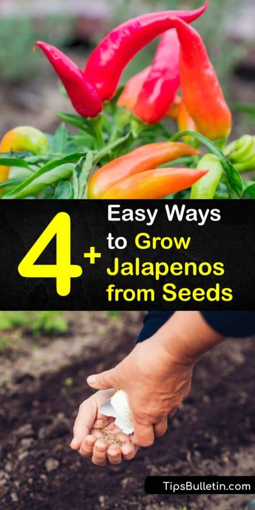 A bell pepper has no heat at all and a habanero is burning hot, but jalapenos are just right. Learn how to sow your own jalapeno pepper seeds indoors before the last frost for the best germination before transplanting them outdoors. #howto #grow #jalapenos #seeds