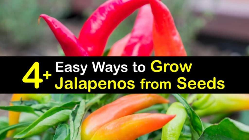 How to Grow Jalapenos from Seeds titleimg1