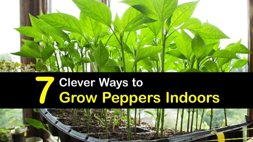 How to Grow Peppers Indoors titleimg1