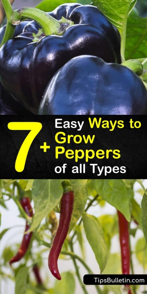 Discover how to grow your own pepper varieties at home in a few simple steps, whether they are hot or sweet peppers. Start your pepper seeds indoors and transplant them outside after germination and enjoy a bountiful harvest at the end of the growing season. #howto #grow #peppers