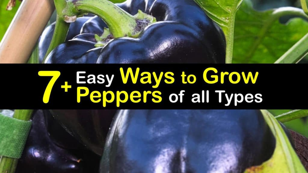 How to Grow Peppers titleimg1