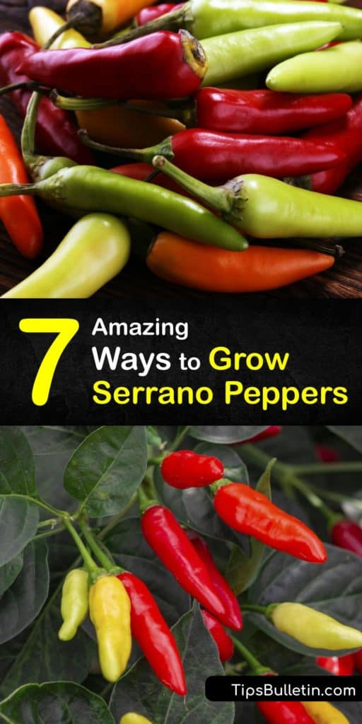 Hot peppers like habanero, chili peppers, jalapeno peppers, and serrano pepper plants are common in Mexican dishes. Although they originate in Mexico, serrano pepper seeds can be grown in your garden with the proper care. #howto #grow #serrano #peppers