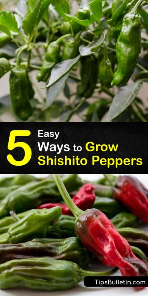 Learn how to germinate and care for Japanese shishito peppers in the garden with this step-by-step guide. This article teaches you DIY gardening hacks to improve germination, save plants from the last frost, and cook them in olive oil so they taste like jalapenos. #howto #grow #shishito #peppers