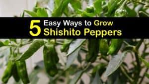 How to Grow Shishito Peppers titleimg1