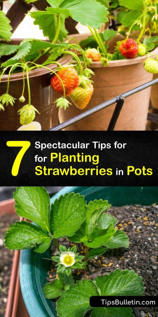Learn how to grow June-bearing or day-neutral strawberries in a terra cotta planter this growing season. Before transplanting strawberries in the late spring or early summer, start new plants indoors. Container plants need lots of water, so use mulch to lock in moisture. #grow #strawberries #pots