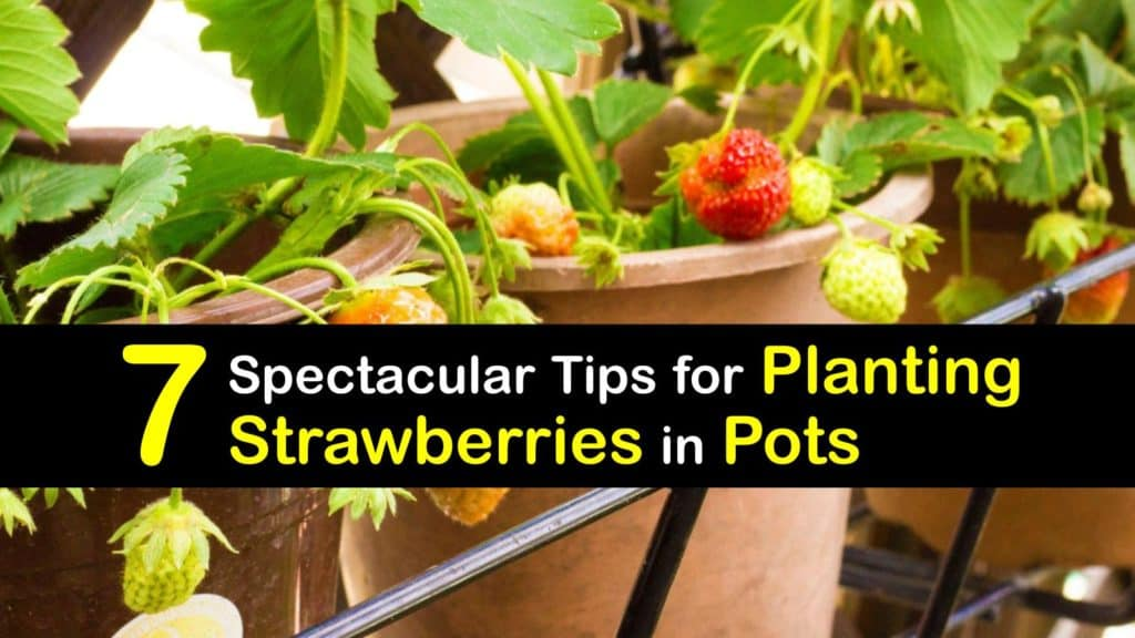 How to Grow Strawberries in Pots titleimg1