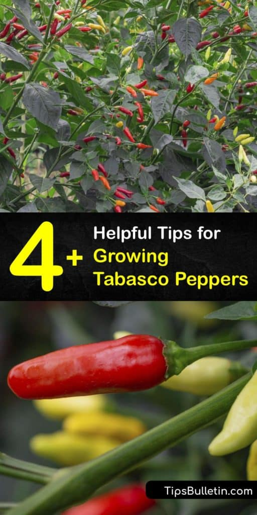 Find out everything you need to know about growing a Tabasco chili pepper plant. If you're a fan of Tabasco sauce, try making your own hot sauce using tabasco, cayenne, jalapeno, or habanero peppers. #howto #grow #tabasco #peppers