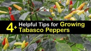How to Grow Tabasco Peppers titleimg1