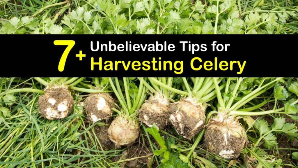 How to Harvest Celery titleimg1