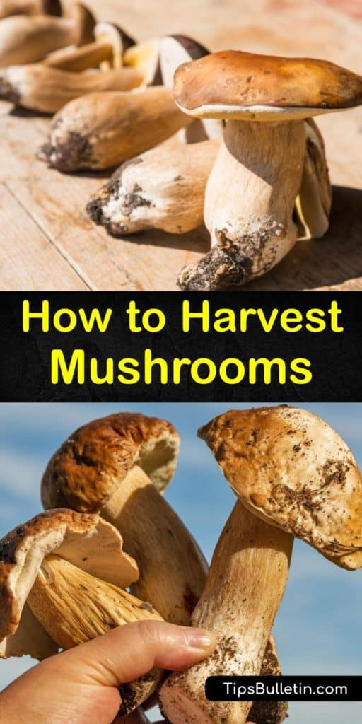 Learn how to grow your own mushrooms and pick mushrooms in the wild. The correct harvesting technique and a grow kit allow growers to produce and collect delicious mushroom types, like Chanterelle. Discover how to avoid magic mushrooms, or shrooms, in the forest. #howto #harvest #mushrooms