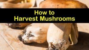 How to Harvest Mushrooms titleimg1