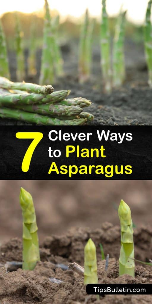 Asparagus spears grow best in the early spring when seeds are planted under two inches of soil. In the first year of growth, asparagus varieties like Jersey Knight do not produce a crop. However, during the third year, male and female plants are ready to harvest. #howto #plant #asparagus