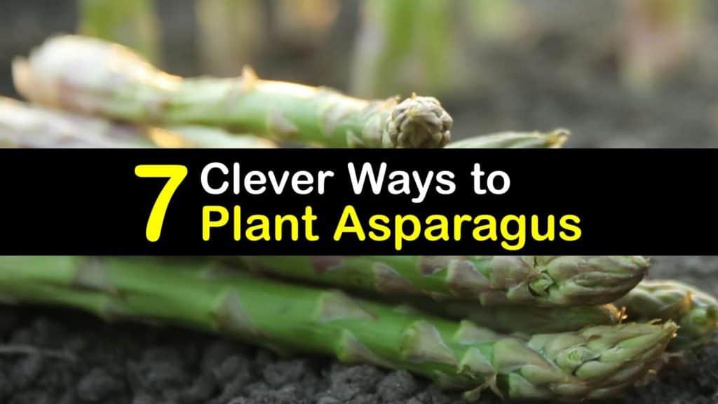 How to Plant Asparagus titleimg1