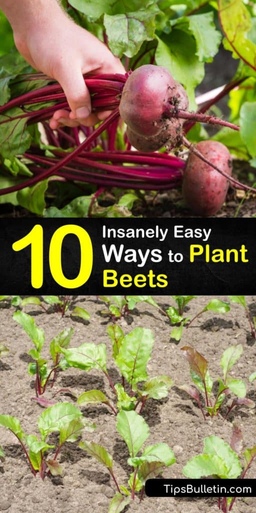 Whip up a fresh beet greens dish with beet varieties, like Detroit Dark Red, from your own garden. When you plant beets or Beta vulgaris, the plant demands full sun, ideal spacing, and mulch to lock in moisture for the root crops. #howto #plant #beets