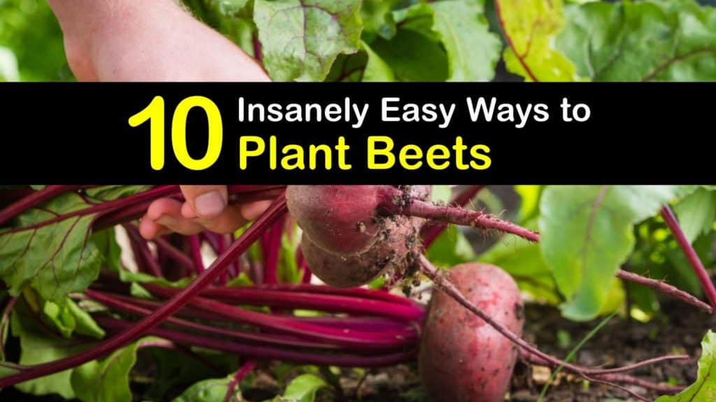 How to Plant Beets titleimg1