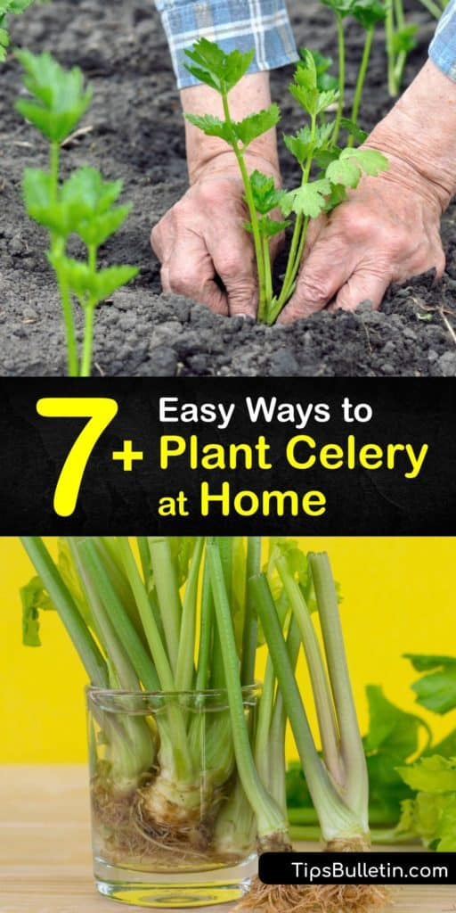 Discover how to grow celery (Apium graveolens) at home in the garden or in front of an indoor windowsill. It's easy to grow these veggies from seed or the celery stalk base. Plant celery in a sunny location and protect the soil with mulch. #howto #planting #celery
