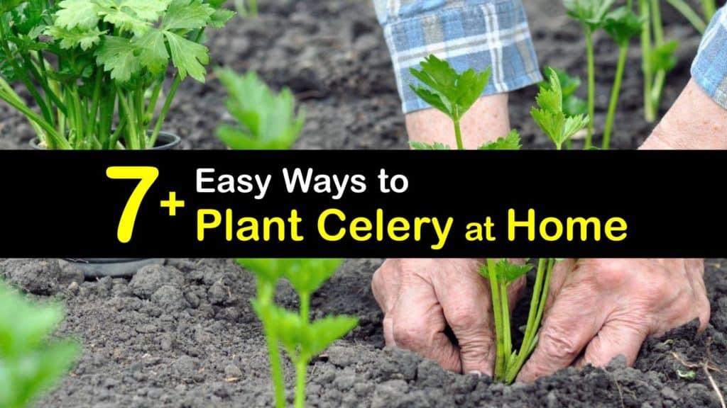 How to Plant Celery titleimg1