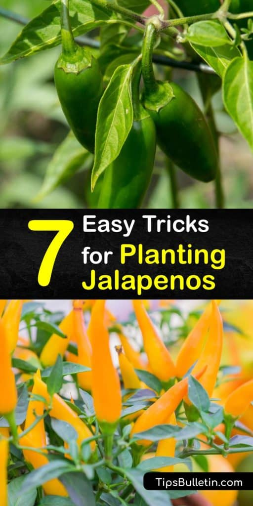 Learn everything you need to know about transplanting and growing jalapenos. Jalapeno pepper plants need plenty of water and sunshine and have a lower Scoville heat rating than other chili peppers like cayenne and habanero. #grow #planting #jalapenos #peppers