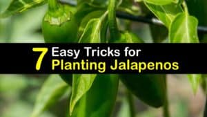 How to Plant Jalapenos titleimg1