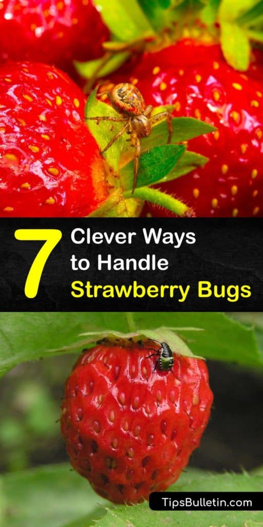 Learn how to get bugs off your strawberries. Pests are common in the garden, especially if you don't use pesticides. According to entomologist, Sriyanka Lahiri, there are even tiny bugs on some of your strawberries from the grocery store. #howto #getridof #strawberry #bugs