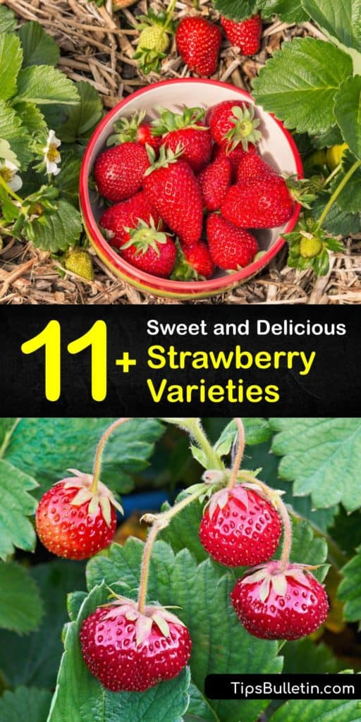 Learn the difference between strawberry varieties like Allstar, Albion, Chandler, Earliglow, and Everbearing. Study these bright red strawberry plants and find out which ones work for the region you're living in. #strawberry #varieties #types