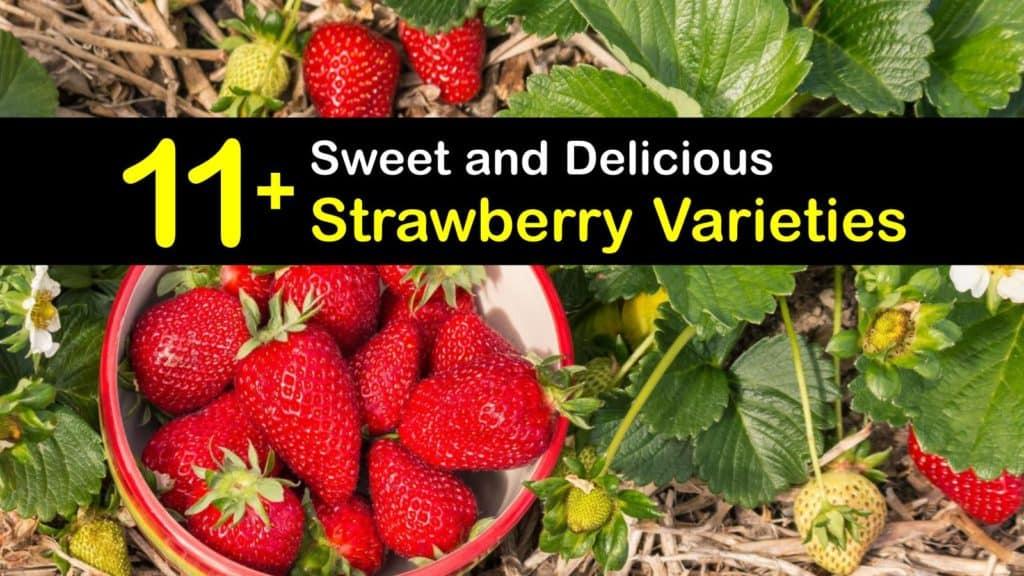 Strawberry Varieties titleimg1