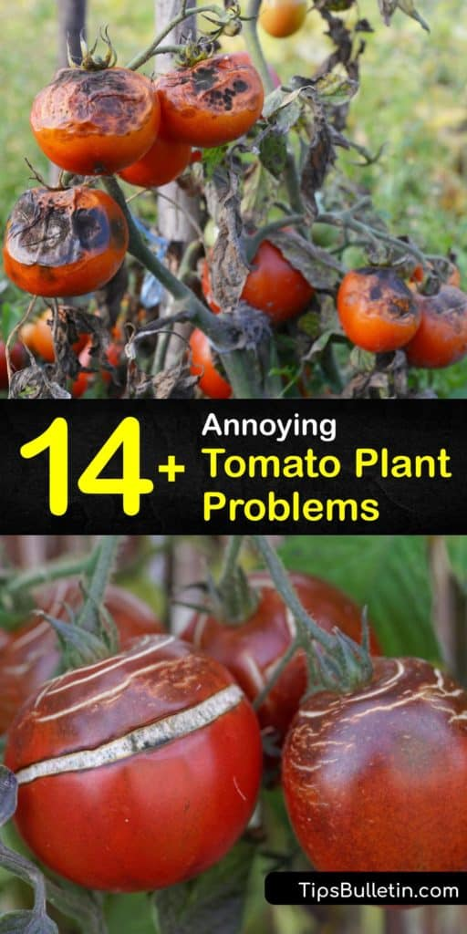 Gain useful knowledge about saving infected plants by identifying bacterial and fungal issues like blossom end rot or pests like aphids. Keep an eye out for black spots and brown spots on lower leaves and tomatoes and fix the problems with better air circulation and mulch. #tomato #plant #problems