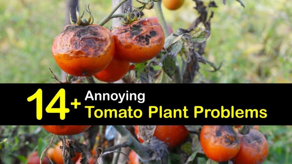 Tomato Plant Problems titleimg1