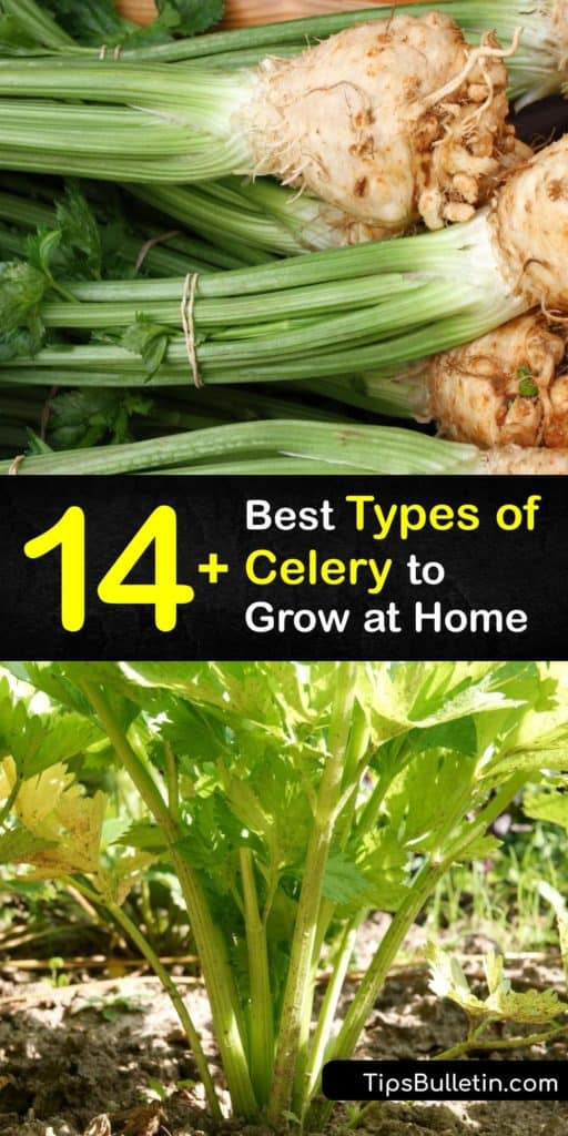 Learn about different varieties of celery and which celery plants are best in your area. Akin to the herb smallage, Apium graveolens var secalinum is self-blanching celery. Celery root, turnip-root celery, or Apium graveolens var rapaceum, is a delicious root veggie. #celery #varieties #gardening