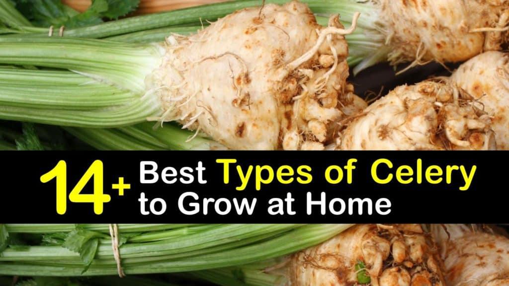 Types of Celery titleimg1