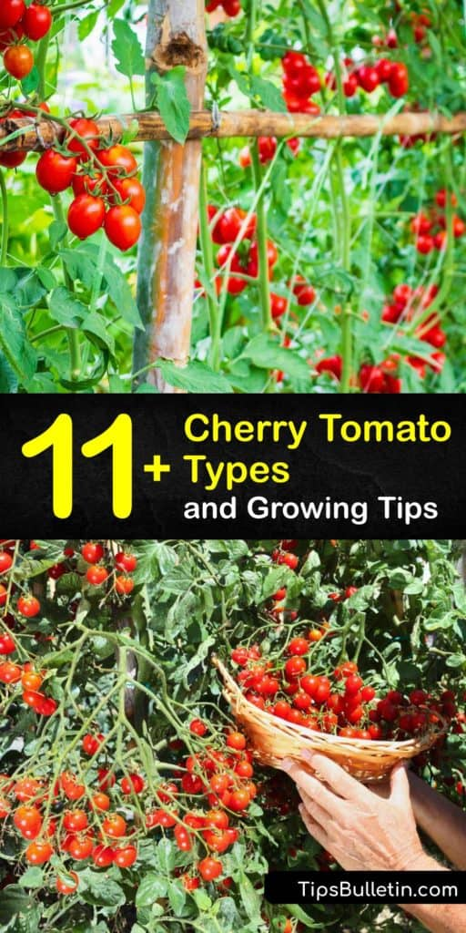 Learn about the many different types of cherry tomato plants and how to grow them in your garden or container. There are a variety of cherry and grape tomatoes, such as Sungold, Black Cherry, and Isis Candy, that are easy to grow and perfect for snacking. #types #cherry #tomatoes