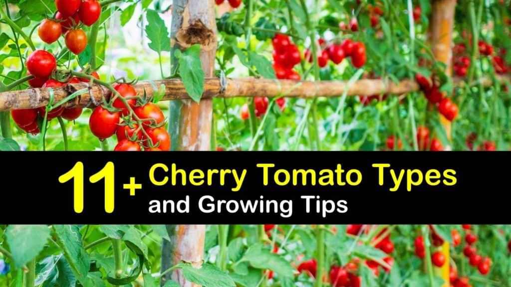 Types of Cherry Tomatoes titleimg1