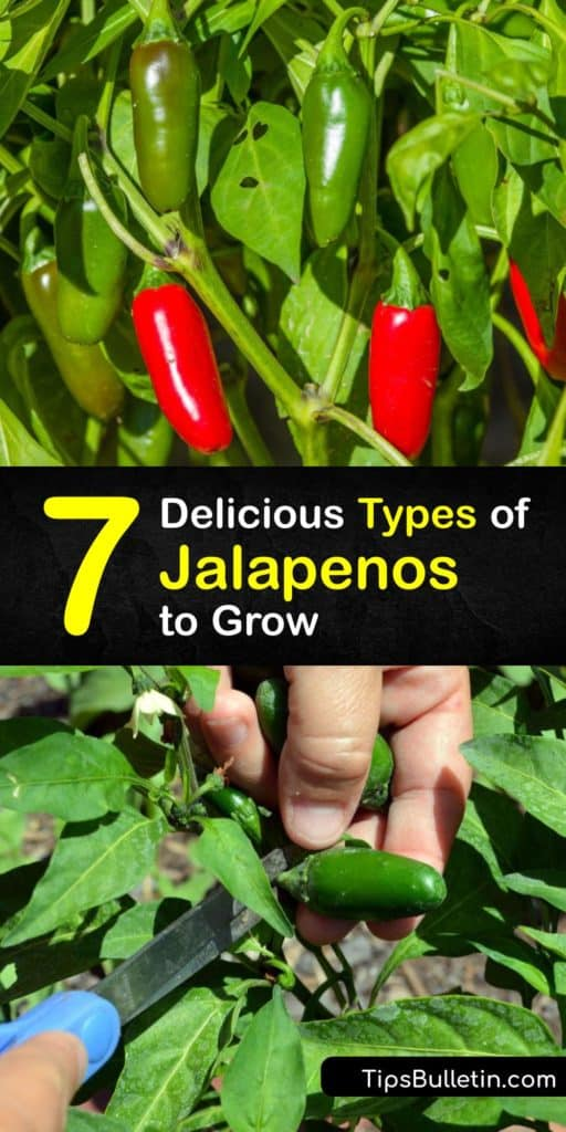 Discover the best varieties of jalapenos for making nachos, salsa, and more. A milder chili pepper than chipotle or habanero peppers on the Scoville scale for capsaicin level, jalapeno pepper plants are one of the most popular for home gardeners. #jalapeno #varieties #pepper