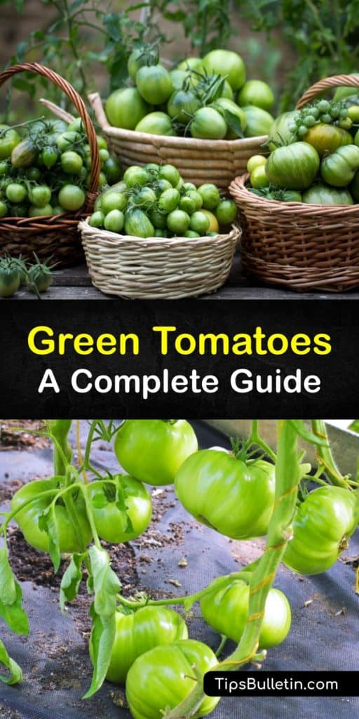 Learn the differences between green tomato types. Some are unripe red tomatoes while others, such as the Green Zebra, are ripe tomatoes with a green color. They are perfect for making pickles or chutney or coating in cornmeal to make fried green tomatoes. #green #tomatoes