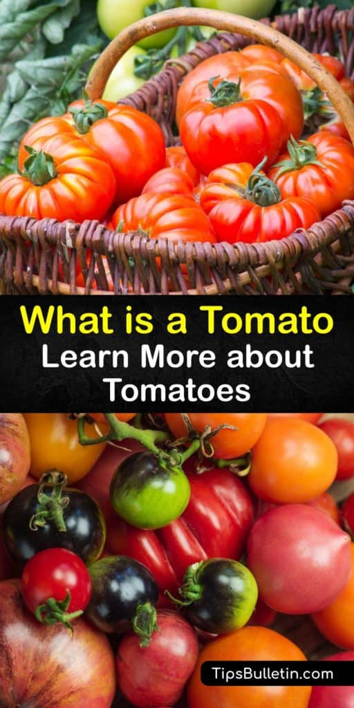 After a tariff was implemented on tomatoes, the Supreme Court determined it is a veggie. Tubers and tomatoes are members of the nightshade family. Rich in potassium and vitamins, tomatoes are used for ketchup and tomato sauce. #what #tomatoes #nightshade