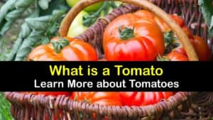What are Tomatoes titleimg1