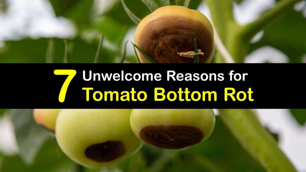 What Causes Bottom Rot on Tomatoes titleimg1