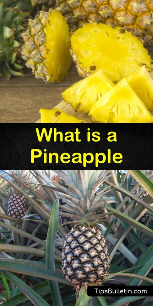 Don't travel to South America, Costa Rica, or Brazil for fresh pineapple. Learn the history of tropical fruit, why it looks like a pine cone, and grow a pineapple plant inside. Turn your new knowledge into recipes featuring pineapple fruit that people will love. #pineapple #whatis