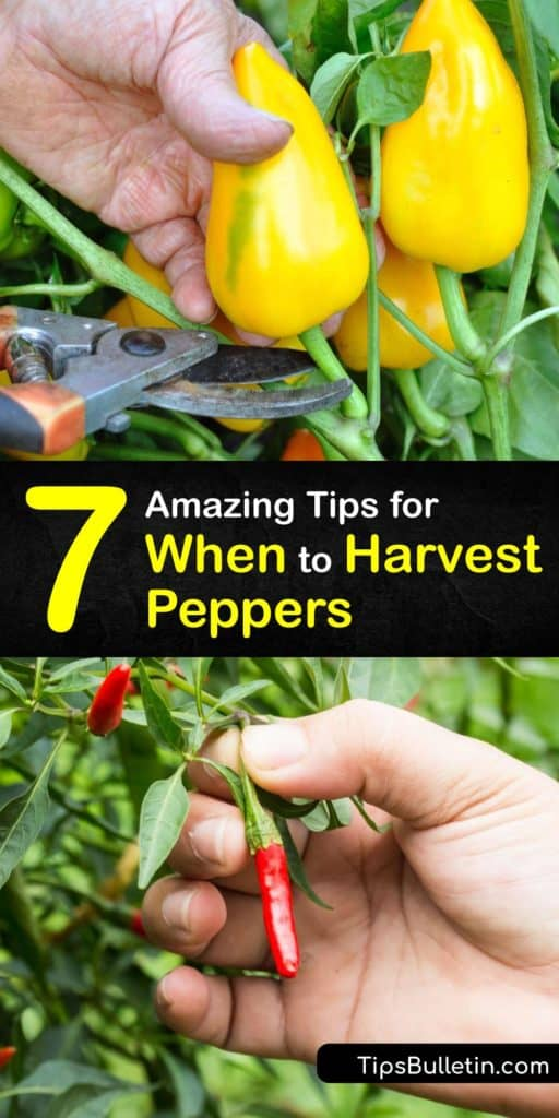 After transplanting pepper plants, you must know how to harvest peppers. A pepper seed packet indicates how long it takes to mature. Sweet peppers like bell peppers start as green peppers and change color. Cayenne peppers continue to ripen throughout the growing season. #when #harvest #peppers