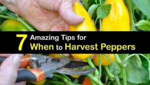 When to Harvest Peppers titleimg1
